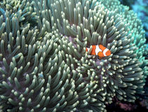 Clownfish starscape Royalty Free Stock Photo