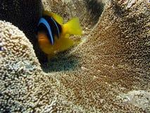 Clownfish sul corallo della moquette Immagine Stock Libera da Diritti