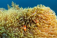 Clownfish sur un récif tropical Photographie stock
