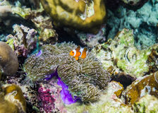 Clownfish swim around in coral reef. Colorful Stock Photography