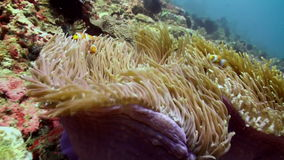 The clownfish swim around and inside anemones. stock footage