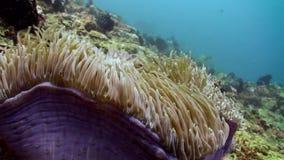 The clownfish swim around and inside anemones. The clownfish swim around and inside anemones in reef. Amazing, beautiful underwater world Bali Indonesia and stock video