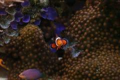 Clownfish Royalty Free Stock Photography