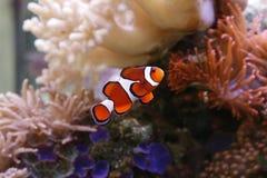 Clownfish Stock Photos