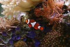 Clownfish Royalty Free Stock Photo