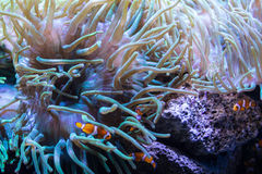 Clownfish swimming  in coral reef Royalty Free Stock Images