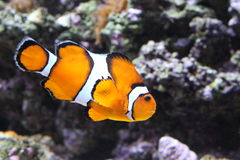 Clownfish swimming Royalty Free Stock Image