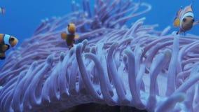 Clownfish swimming in sea anemone at aquarium. Anemone soft corals and clownfish swimming in saltwater aquarium. Footage of Amphiprioninae, ocellaris fish stock footage