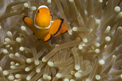 Clownfish and their anemone Royalty Free Stock Photo