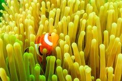 Clownfish tijdens een planktonbloei stock afbeeldingen