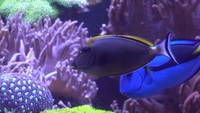 Clownfish tropical exótico en el agua azul del acuario metrajes