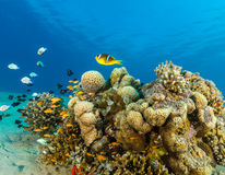 Clownfish and tropical fish swimming over a coral pinnacle Stock Image