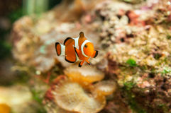 Clownfish and tropical reef Royalty Free Stock Photos