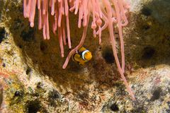 Clownfish und rosafarbene Anemone Stockfotos