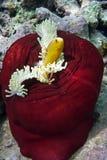 Clownfish und Seeanemone Lizenzfreies Stockbild
