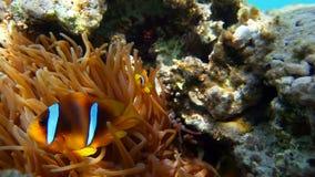 Clownfish van Rode Overzees