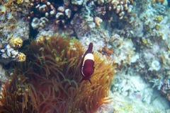 Clownfish vermelhos no actinia Foto subaquática do recife de corais Peixes do palhaço na anêmona Litoral tropical que mergulha ou imagem de stock royalty free