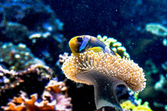 Clownfish w dennym anemonie zdjęcie stock