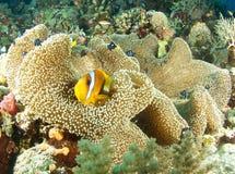 Clownfish w Papua Obraz Stock