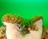 Clownfish w zieleni Fotografia Royalty Free