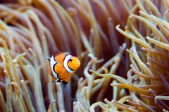 Clownfish : wanna come in?. Anemonefish and anemone royalty free stock image