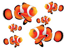 Clownfish with white background Stock Images