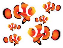 Clownfish with white background Royalty Free Stock Images