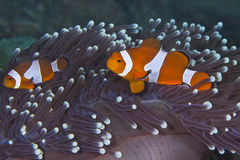 Clownfish in White-tipped anemone Royalty Free Stock Image