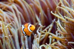 Clownfish: wil binnen komen? royalty-vrije stock afbeelding