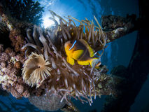 Clownfish (Amphiprion bicinctus) in a Sea Anemone Stock Photography