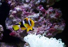 Clownfish y anémona Imagen de archivo libre de regalías