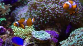 Clownfish y anémonas almacen de video