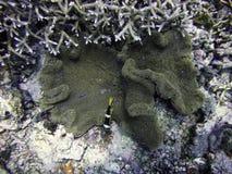 Clownfish y lipfish con la anémona Fotografía de archivo libre de regalías