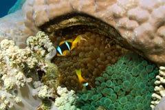 Clownfish in zwei verschiedenen Anemonen Lizenzfreies Stockfoto
