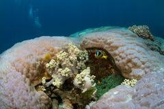 Clownfish in zwei verschiedenen Anemonen Stockbilder