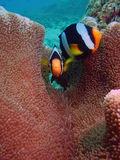 Clownfishe samen Royalty-vrije Stock Foto