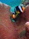 Clownfishe tillsammans Royaltyfri Foto