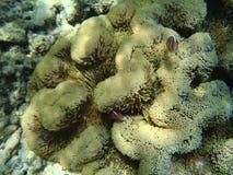 Clownfishes και Anemone Στοκ φωτογραφία με δικαίωμα ελεύθερης χρήσης