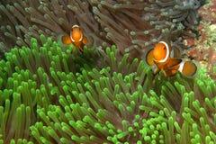 Clownfishes στα anemones Στοκ φωτογραφία με δικαίωμα ελεύθερης χρήσης