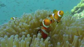Clownfishes στα anemones απόθεμα βίντεο