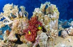 Clownfishes на коралле Стоковое фото RF