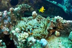 Clownfishes на развалине Стоковая Фотография RF