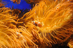 Clownfishes Stockfotos