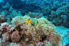 clownfishes Στοκ Εικόνες