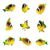 Clownfishes Стоковое Изображение RF