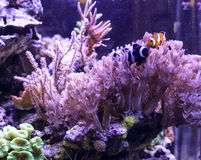 Clownfishes Стоковое фото RF