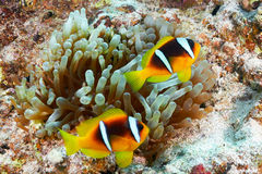 Clownfishes stock afbeeldingen