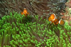 Clownfishes in anemones Royalty Free Stock Photo