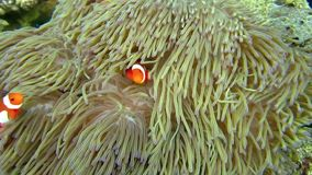 Clownfishes in anemones Royalty Free Stock Image