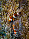 Clownfishes at the coral. Two clownfish at the coral Royalty Free Stock Photography
